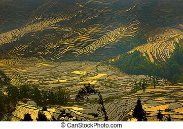 riso, terrazzi, di, yuanyang, yunnan, porcellana