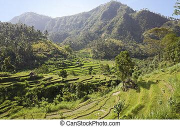 riso, tipo, indonesia, terrazzi, bali