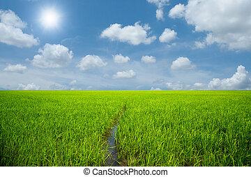 riso verde, campo, blu, cielo