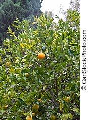 risso), fruta cítrica, l., fruit., o, l., aurantium, dulcis...