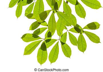 ritaglio, foglia, isolato, sfondo verde, percorso, bianco