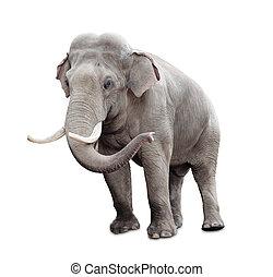 ritaglio, isolato, elefante, included, percorso, bianco
