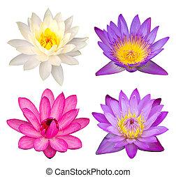 ritaglio, set, loto, isolato, fiore, percorso, bianco