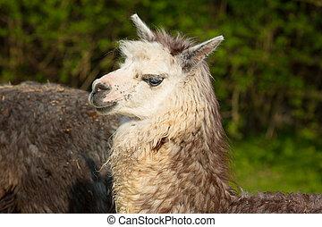 ritratto, alpaca, animale, carino