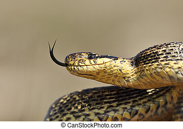 ritratto, blotched, serpente