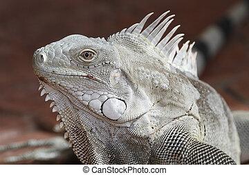 ritratto, bonaire, -, iguana