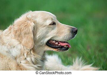 ritratto, cane, giovane, bellezza