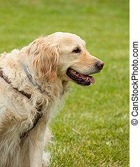 ritratto, di, cane riporto dorato, su, verde, grass.