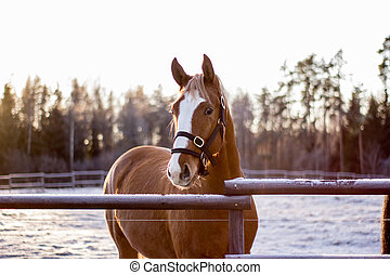 ritratto, di, castagna, cavallo, in, inverno, tramonto