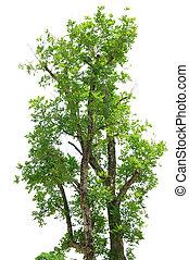 ritratto, grande, albero verde, bianco, fondo