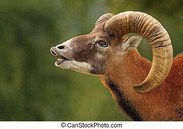 rituel, accouplement, mouflon