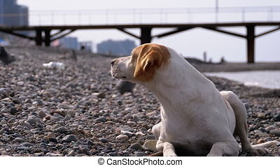 rivage, dog., pierre, mensonges, chien, sdf, sea., affamé, ...