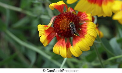 Rivalry - Bees and a bumblebee collecting nectar from a...