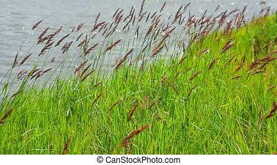 rive, herbe, vert, vent
