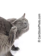 rive, kløende, kat kitty