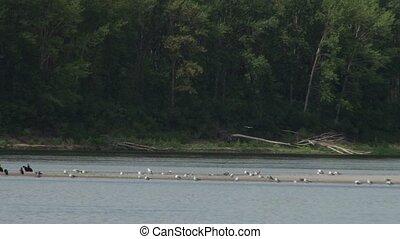 River Bank Birds - Black cormorants and white sea gulls on a...