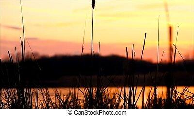 river bulrush grass at sunset landscape orange nature -...