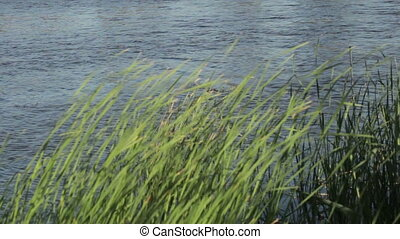 River bulrush - On river bank bends wind rushes