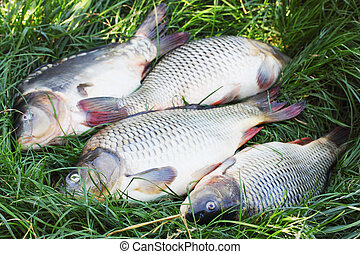 river carp on the grass