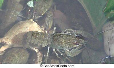 River crayfish in Lake - River Crayfish swim in the Lake