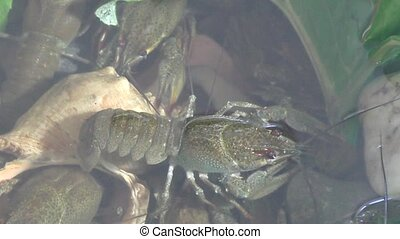 River crayfish in Lake - River Crayfish swim in the Lake