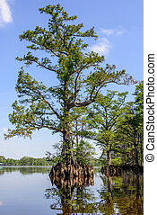 River Cypress - Bald Cypress trees on the Chickahominy river...