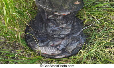 River fish in the cage on grass. Redfin fish, roach