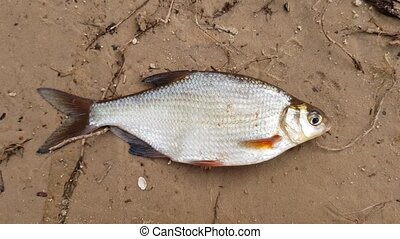 river fish in the cage - The river fish is caught and lies...