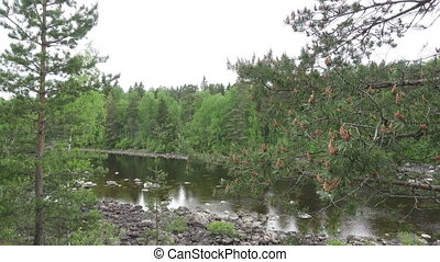 river flows on the stony course in the pine wood in the...