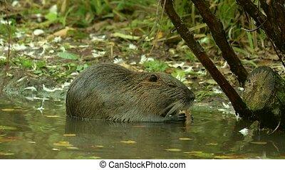 (river, mignon, coypu, manger, à poil, nutria), haut, herbe, sauvage, fin, rive, rat