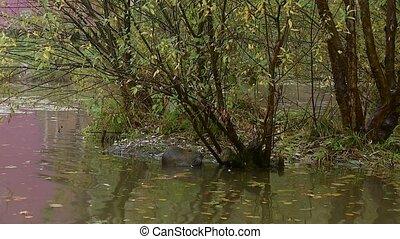 (river, mignon, coypu, manger, à poil, nutria), herbe, maître, sauvage, rive, rat