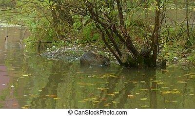 (river, mignon, coypu, manger, à poil, nutria), zoom, herbe, sauvage, rive, rat