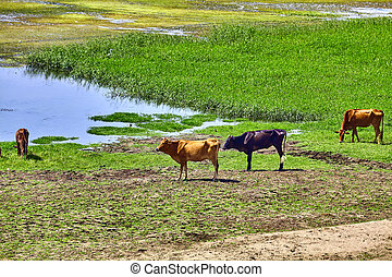 River Nile in Egypt. Life on the River Nile. Cow in Nile