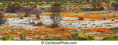 River of orange and white wild flowers
