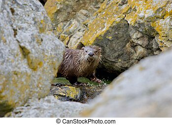 River otter at a small pool of water between lichen covered boulders