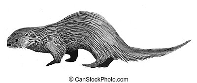 River Otter Lontra canadensis Pencil and Computer Drawing