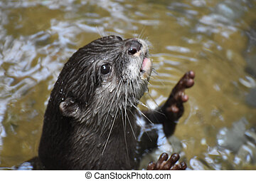 River Otter Reaching Up Out of the Water with His Paws