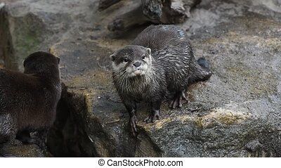 River otter scream and yawn on rocks - Close up portrait of...