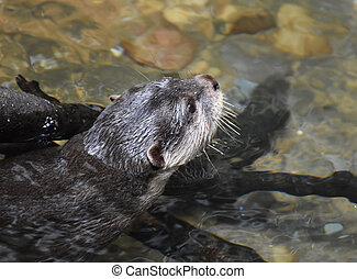 River Otter Swimming in Very Shallow River Water