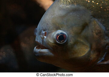Red-bellied Piranha - Pygocentrus nattereri
