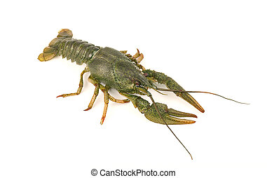 River raw crayfish close-up isolated on white background