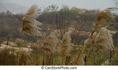 river reeds in wind, shaking wilderness, mountain, hill.