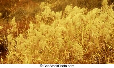 river reeds in wind,shaking wilderness,Bright...