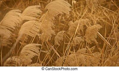 river reeds in wind,shaking wilder