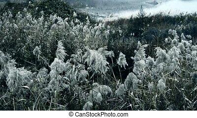 river reeds in wind,shaking wildern