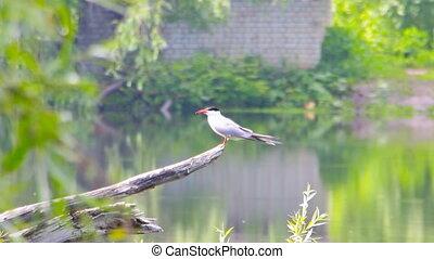 River tern sits on branch - Sterna hirundo. The river tern...