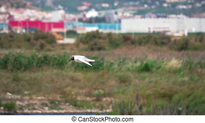 River tern (Sterna hirundo) flying against the city, super...