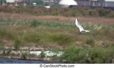 River tern (Sterna hirundo) in flight building nest, super...