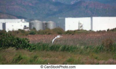 River tern (Sterna hirundo) in flight, super slow motion -...