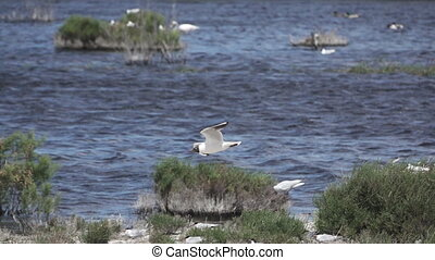 River tern (Sterna hirundo) in flight, super slow motion -...